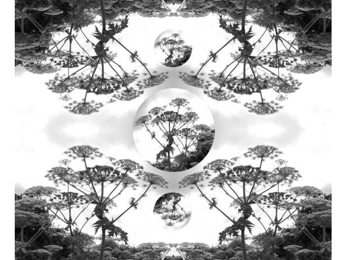 hogweed-meditation